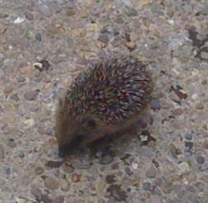 Copy of photos of Hedgehog Hammy 017